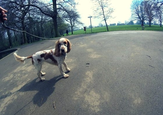 Spaniel in Abington park