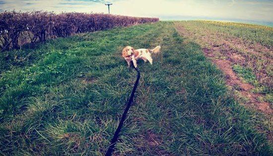 spaniel in a field