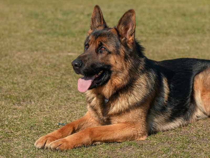 German shepherded laying down