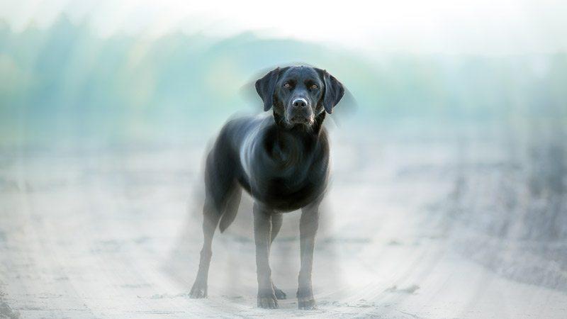 black Labrador standing