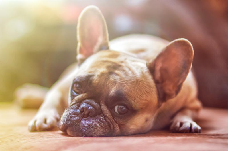a pug dog laying down