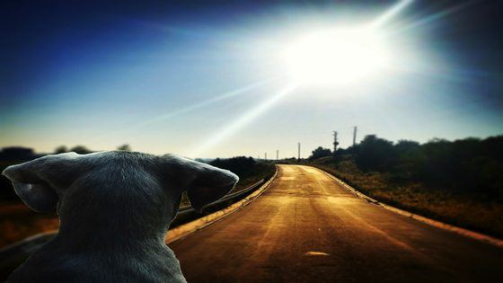 dog looking at road