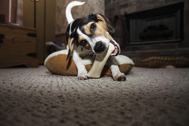 dog chewing a bone
