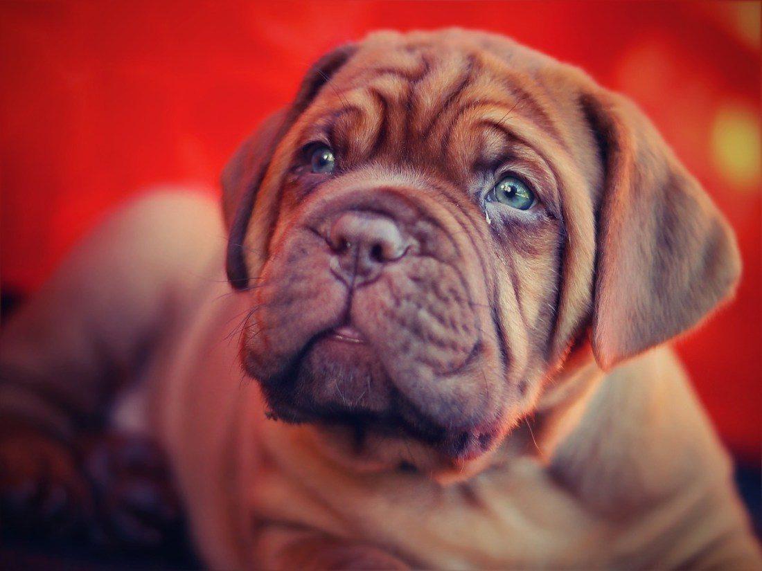 bordoue puppy