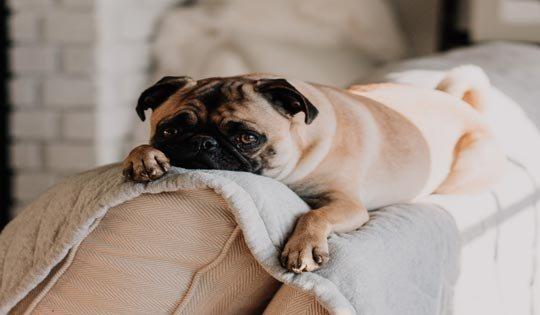 pug on sofa